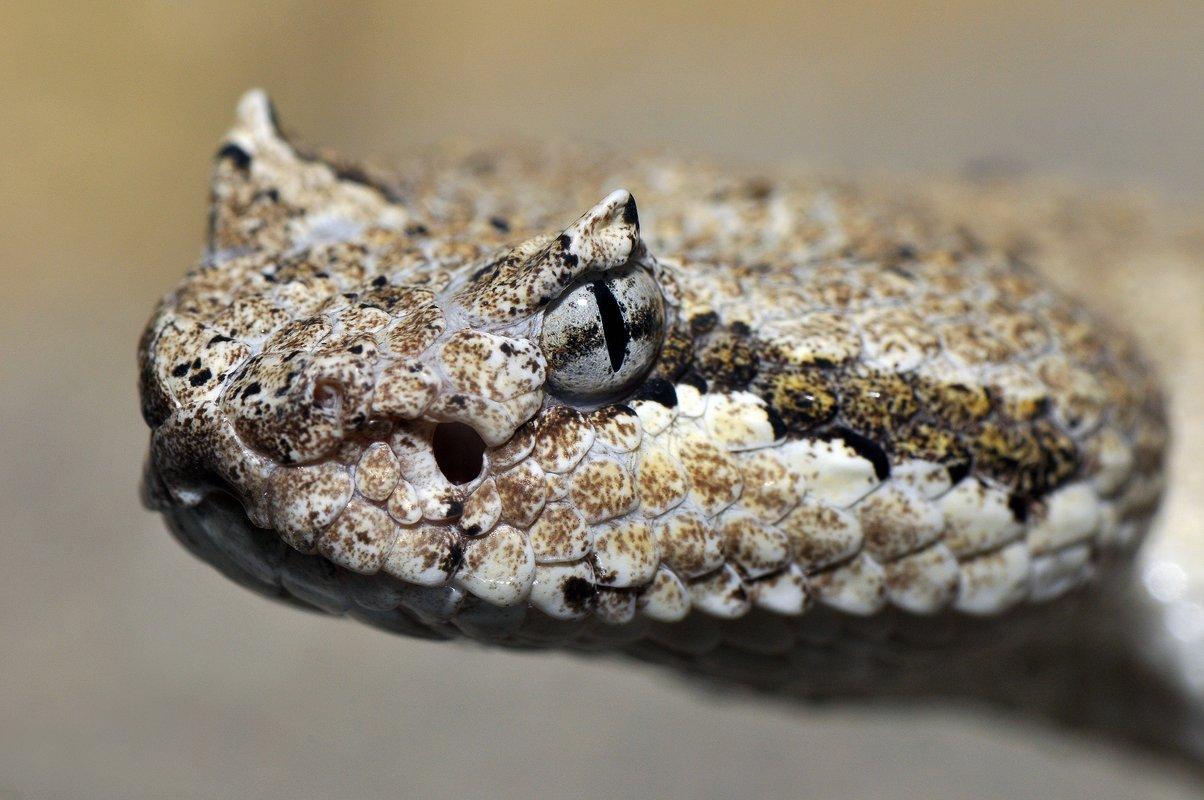 Szarvas csörgőkígyó