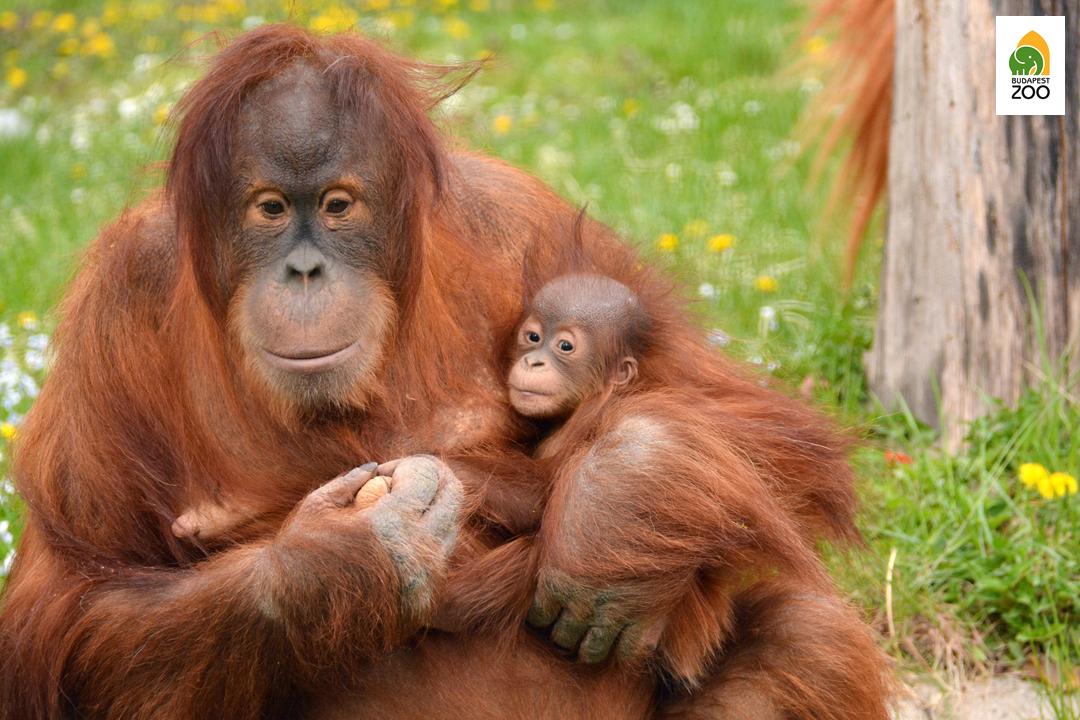 A főemlősök, különösen az emberszabású majmok osztályon felüli minőségű és nagyon változatos takarmányt igényelnek
