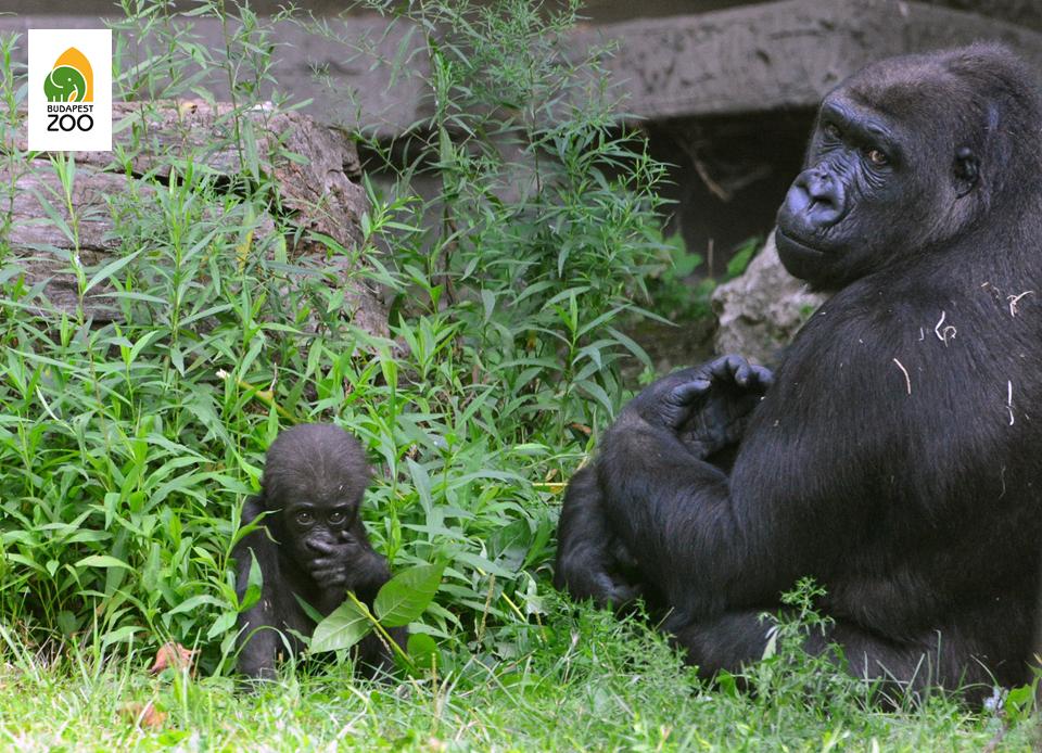 A  gorillák Afrika trópusi erdőségeit lakják
