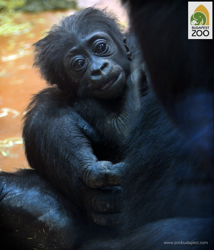 The Baby Gorilla Boy Has A Name Zoo In The Heart Of Budapest
