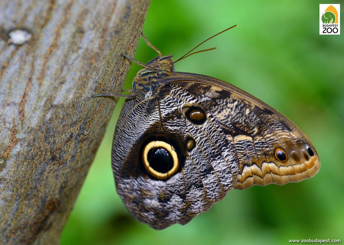 A denvérlepkék, másik nevükön estikék (Caligo sp.) több faját is be szoktuk mutatni. Bár a Lepkekertben ezek a lepkék nappal is jól láthatók, a természetben rendszerint alkonyatkor a legaktívabbak, csapongó repülésük pedig tényleg emlékeztet kissé a denevérek röptére