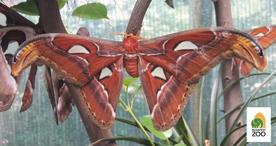 A termetes atlaszlepkék (Attacus atlas) szárnyfesztávolsága a 25 centit is meghaladhatja. Ez a faj Kínától Jáváig, Afganisztántól Pápua Új-Guineáig számít őshonosnak