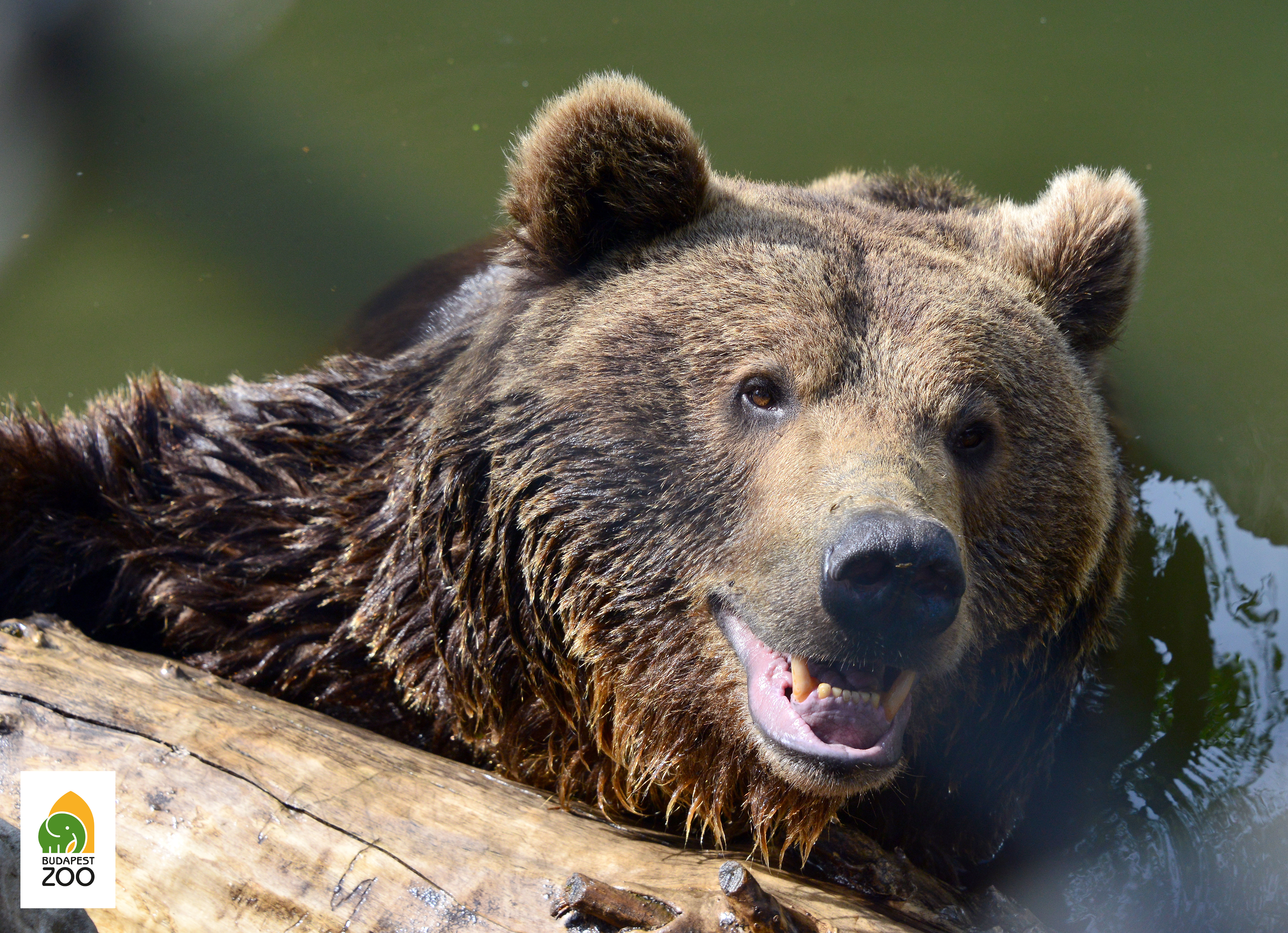 A barnamedve Eurázsiában is Észak-Amerikában is őshonosnak számít