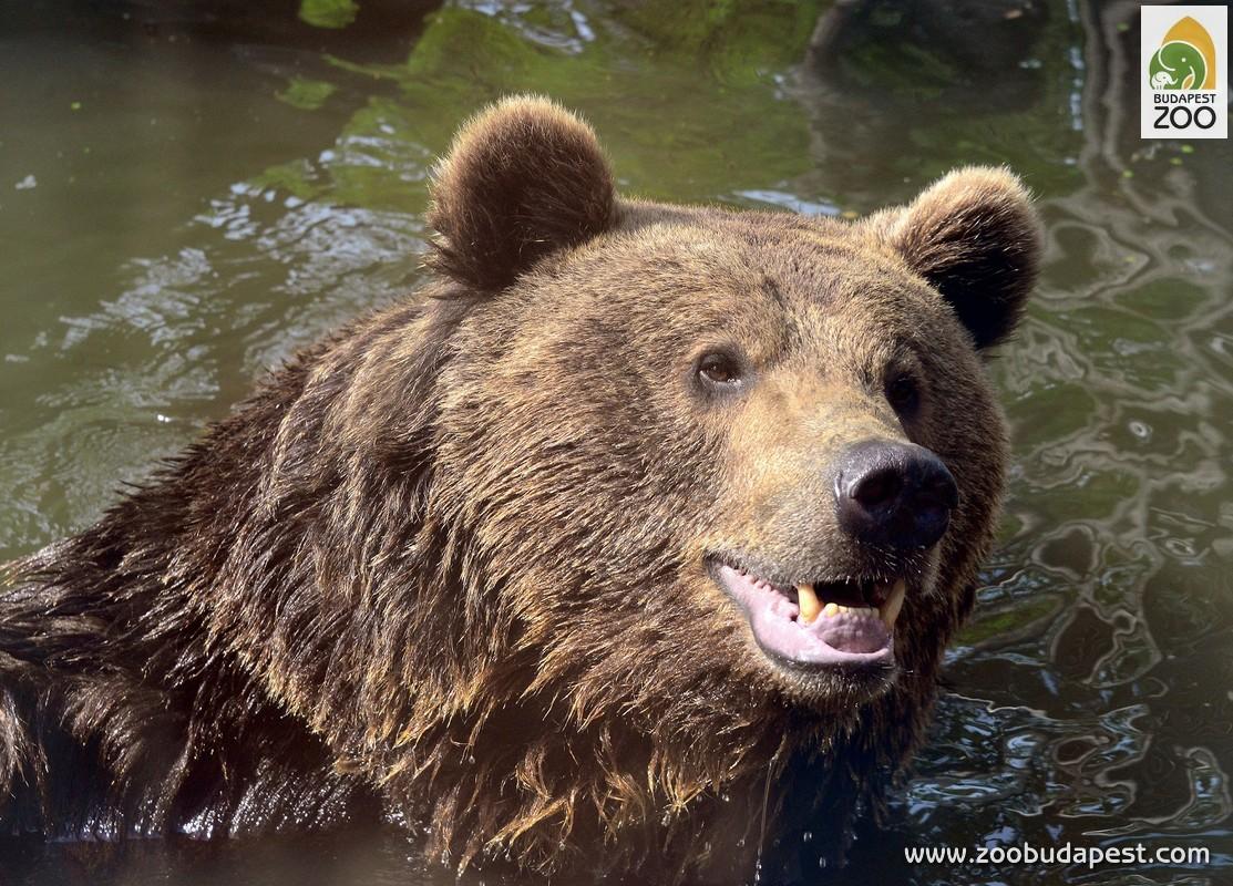 A barnamedvék tartásának nagy hagyományai vannak Állatkertünkben
