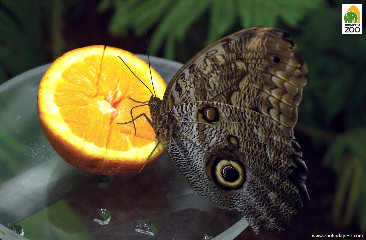 A repülés sok energiát igényel, ezért a lepkék energiában gazdag táplálékot kapnak: édes gyümölcsöket kapnak, amelyek nedvét szívogathatják, és mesterséges nektárt is készítünk nekik