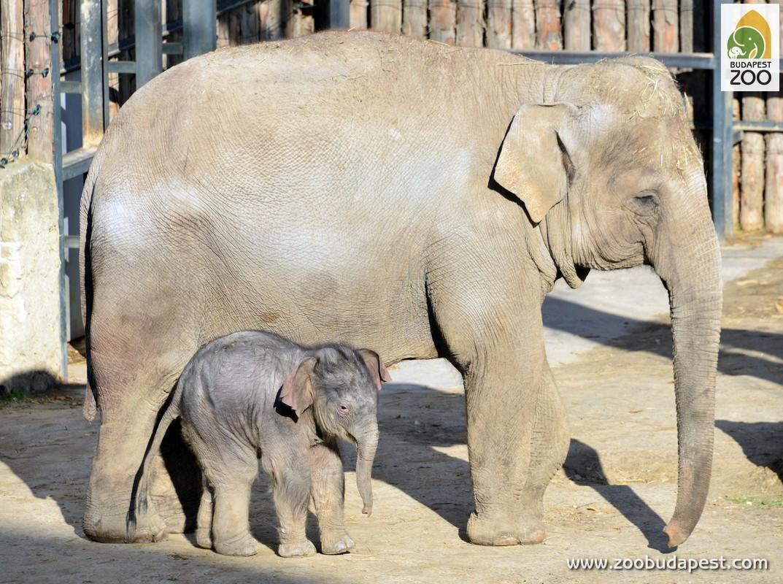 Az ormányosok a földtörténeti múltban Európában, Ázsiában, sőt  Észak-Amerikában is előfordultak. Ma már csak Dél- és Délkelet-Ázsiába,  illetve Afrikában fordulnak elő. Persze az Állatkertünkben is látható  ázsiai elefántok sokban különböznek afrikai rokonaiktól