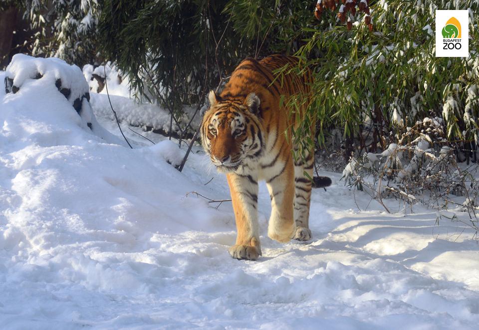 """Elsőre talán meglepő látvány a """"dzsungel királyaként"""" ismert tigris hóban látni, ám a mi tigriseink szibériai tigrisek"""