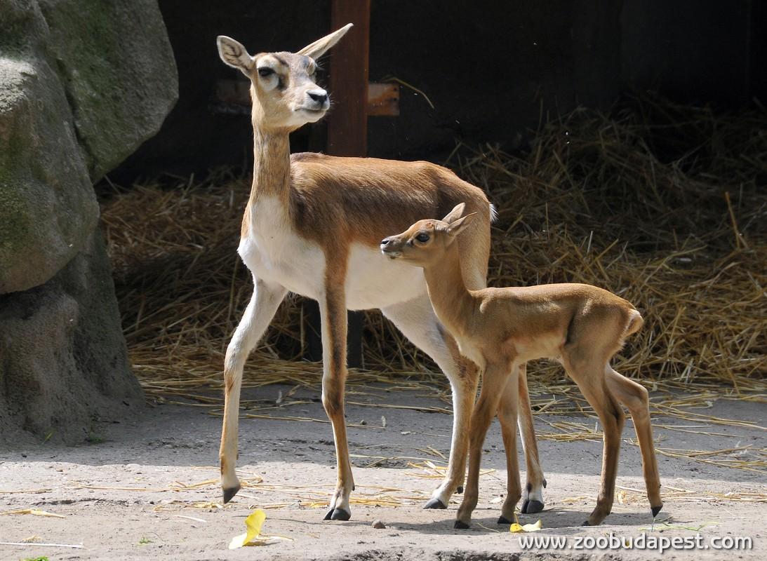 az indiai antilopok egyszerre csak egyet szoktak elleni, de egy naptári évben akár két ellésre is sor kerülhet