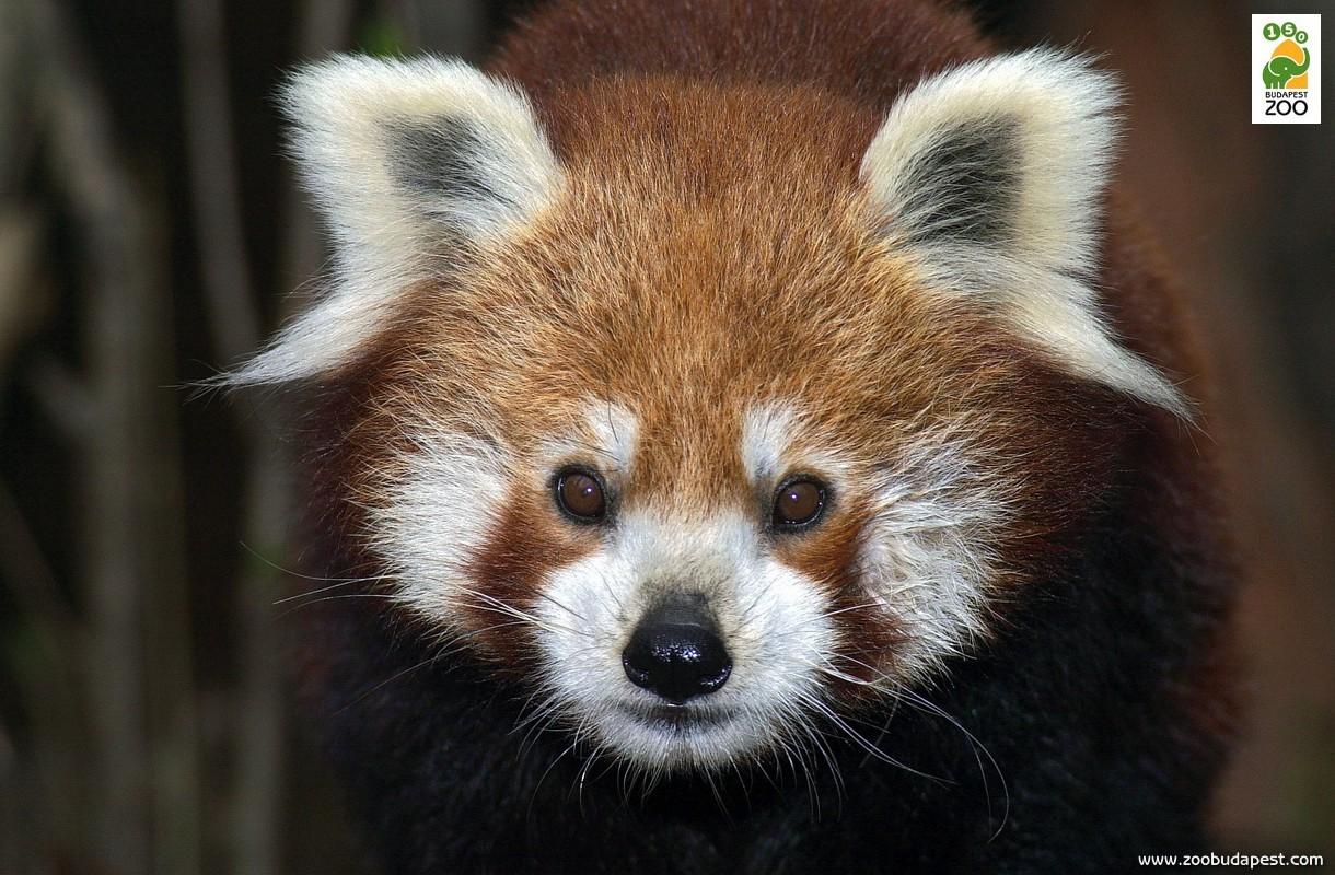 Állatkertünk 1990 óta foglalkozik vörös macskamedvékkel