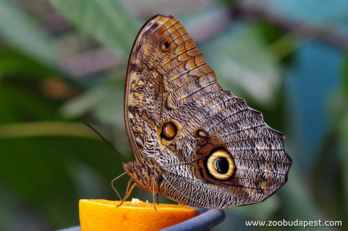 A lepkéknek nyaló-szívó szájszervük, más néven pödörnyelvük van: ezzel nyerik ki a virágokból a nektárt, vagy a gyümölcsök édes nedvét