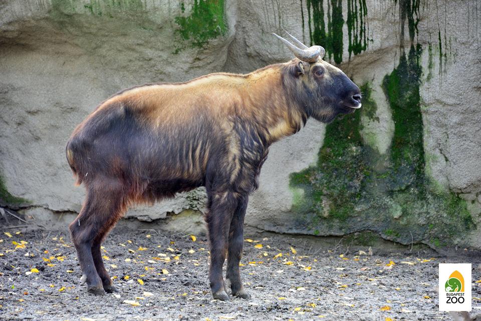 A takin nem túl közismert állat: sok látogatónk nálunk szerez tudomást arról, hogy ilyen állat egyáltalán létezik