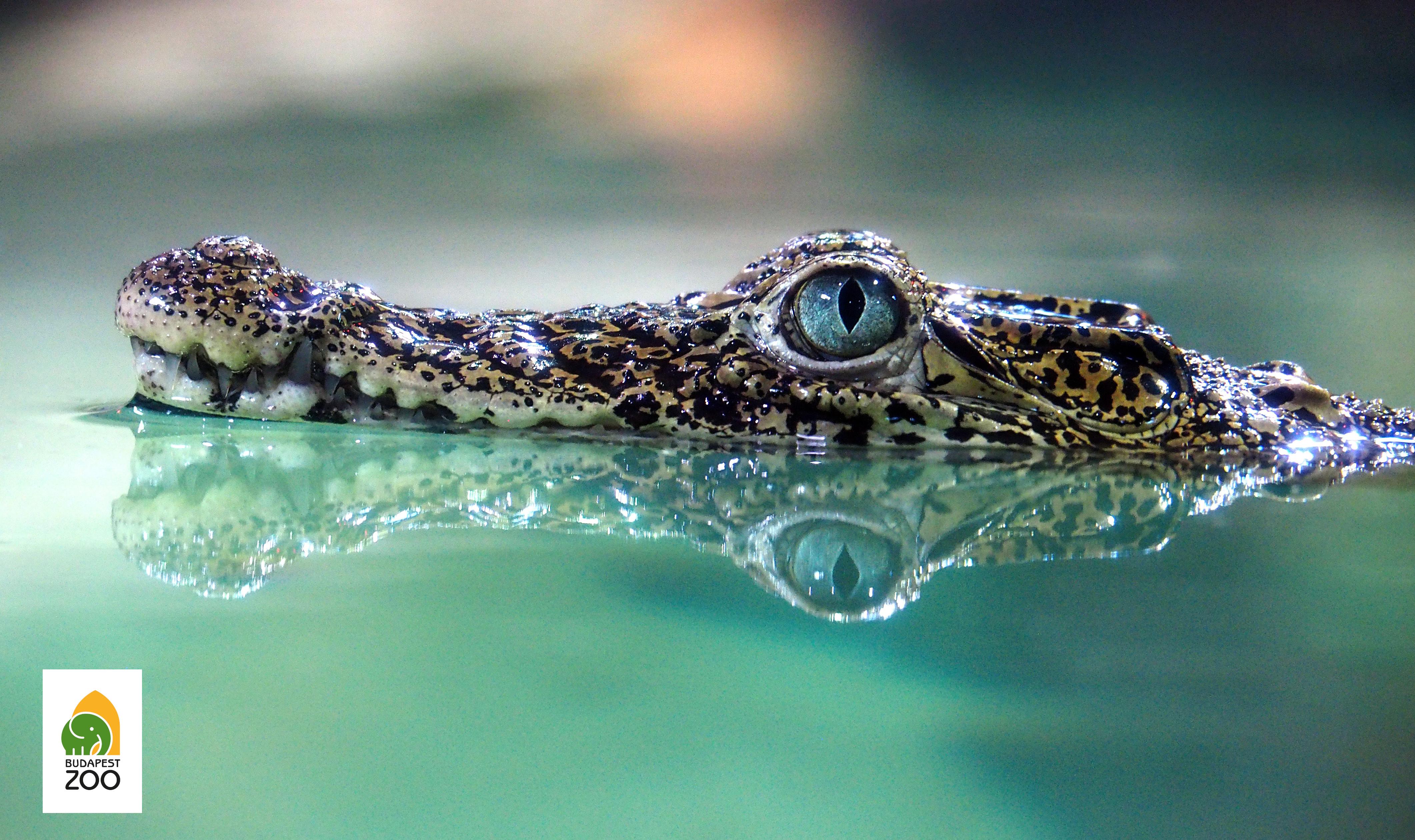 A kubai krokodil kritikusan veszélyeztetett fajnak számít