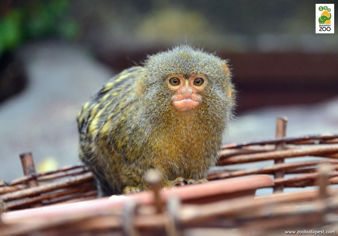 A törpe selyemmajom egyike a legapróbb termetű majmoknak