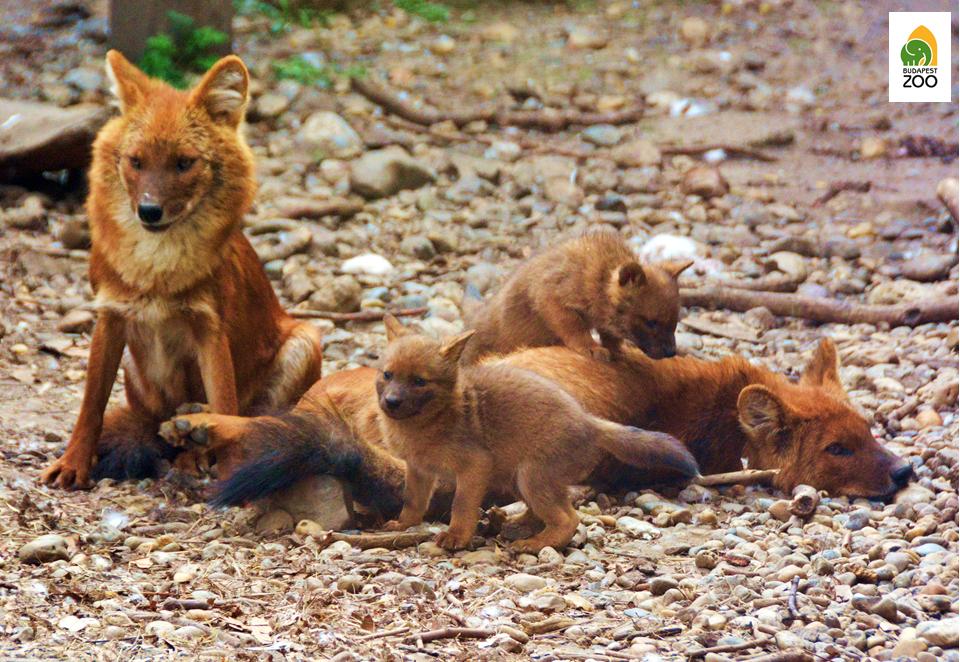 ázsiai vadkutyáinknál rendszeres a gyermekáldás