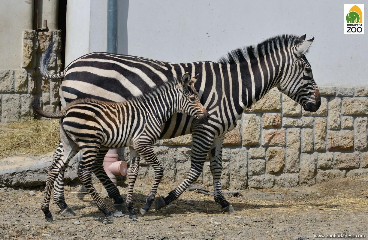 Zebráinknál is rendszeres a gyermekáldás: a csikók eleinte jellegzetes, borzas csikószőrt viselnek