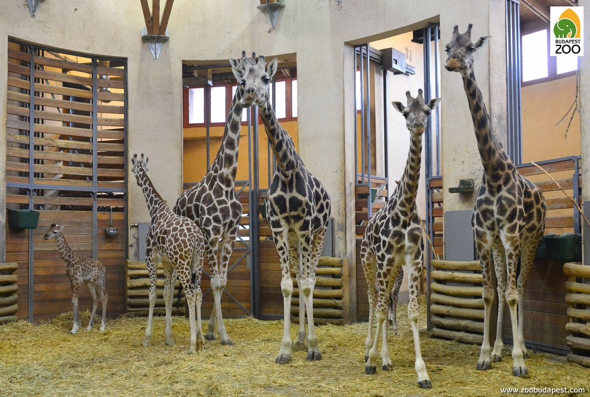 Zsiráfjainknál rendszeres a gyermekáldás. Ha nem a szabadkifutóban vannak, a Szavanna istálló tágas csarnokában érdemes keresni őket