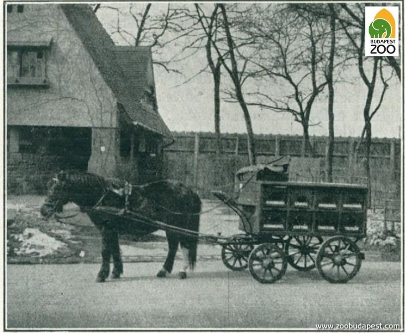 Amíg nem voltak teherautók, szinte mindent fogatolt járművekkel szállítottak. Ezen a régi képen Állatkertünk egykori, még a háború előtt használt, ló vontatta húsoskocsiját látni. A központi takarmánykonyháról ezzel hordták ki a húsokat a ragadozók állatházaihoz.