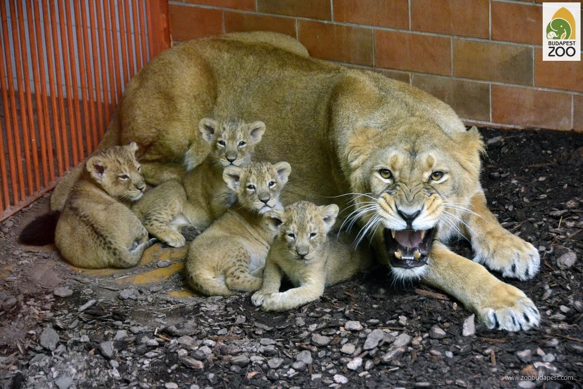 Ritka indiai oroszlánjaink már több alkalommal szaporodtak