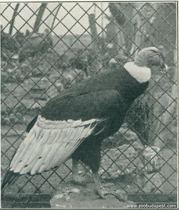 A második világháború idején, 1944 őszén elpusztult öreg kondor már 1907-ben is az Állatkert lakója volt