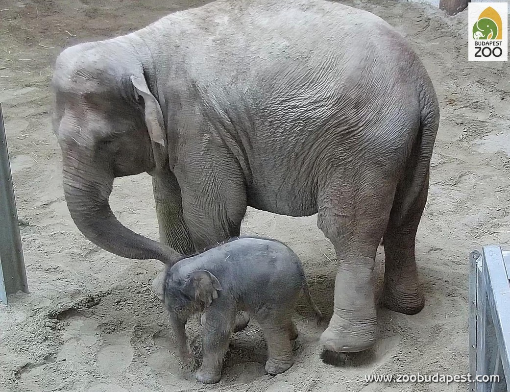 a baby elephant was born zoo in the heart of budapest